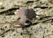 Rhipidura javanica