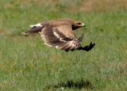 Aquila nipalensis