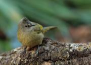 Pycnonotus flavescens