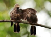 Turdoides affinis