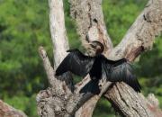Anhinga melanogaster