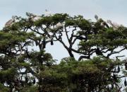 Pelecanus philippensis