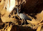 Egretta novaehollandiae