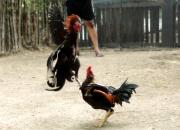 Cockfights