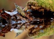 Spinus spinus