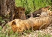 Lew afrykański