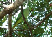 Psittacula krameri