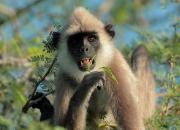 Tufted Gray Langur