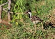 Vanellus indicus