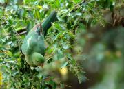 Alisterus scapularis