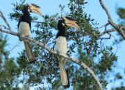 Anthracoceros coronatus