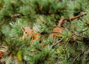 Wiewiórka perska