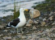 New Zealand -fauna