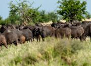 Bawół afrykański