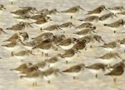 Calidris ferruginea