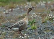Iceland - fauna