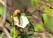Nectarinia jugularis