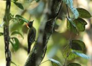 Picus chlorolophus