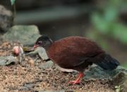Galloperdix bicalcarata