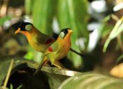 Leiothrix argentauris