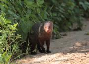 Ruddy mongoose