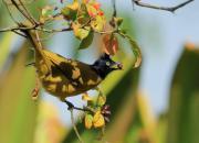 Pycnonotus melanicterus