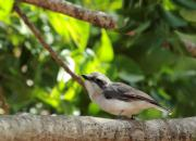 Tephrodornis affinis