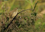 Pycnonotus blanfordi