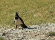 Corvus dauuricus