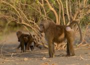 Yellow baboon