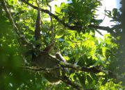Leniwiec dwupalczasty