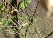 Lonchura castaneothorax