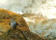 Rhyacornis fuliginosa