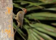 Kuba - fauna