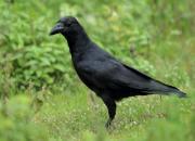 Corvus macrorhynchos