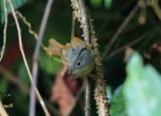 Alcippe poioicephala
