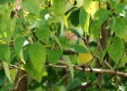 Nectarina asiatica