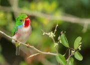 Todus multicolor
