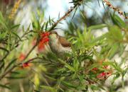 Ramsayornis modestus
