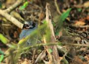 Arborophila rufogularis