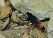 Chaimarrornis leucocephalus