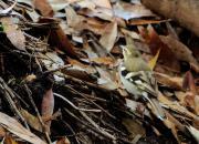 Dendronanthus indicus