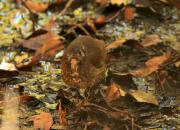 Zoothera marginata