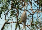 Ploceus philippinus