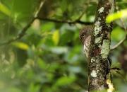 Glaucidium castanotum