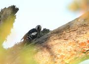 Dendrocopos syriacus